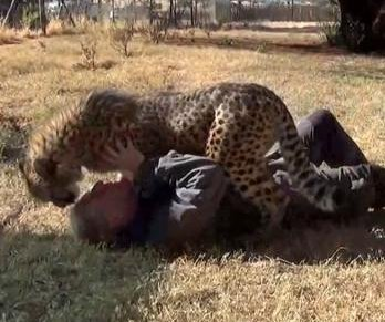 Cheetah wrestles with human 'best friend' at South African sanctuary