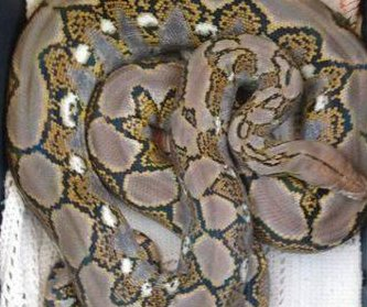 Escaped python captured after a day of wandering in North Carolina