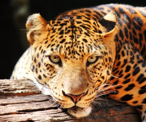 Dheli zoo sends back jaguar, says he's 'too fat' to mate