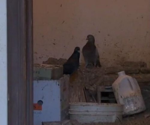 Hundreds of pigeons found in New York home