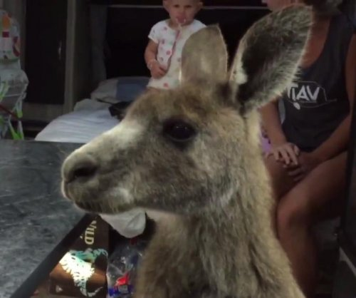 Friendly kangaroo jumps into family's RV, refuses to leave