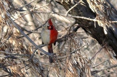 Scientists study half-male, half-female cardinal in Illinois