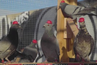 Pigeons in MAGA hats released in downtown Las Vegas