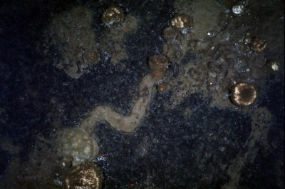Arctic sponges leave trails of spicules along the ocean floor