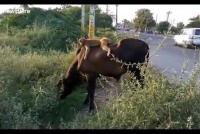 Wild monkey strikes up unusual friendship with cow