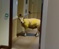 Escaped sheep wanders into hotel, waits for elevator