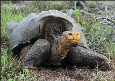Giant tortoises making a comeback on Galapagos Islands