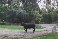 Loose bull temporary shuts down New York highway