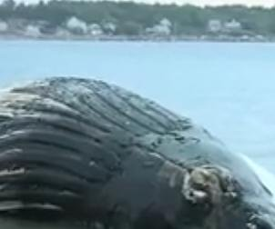 Necropsy to be performed on 40-ton whale found on beach in Rye, N.H.
