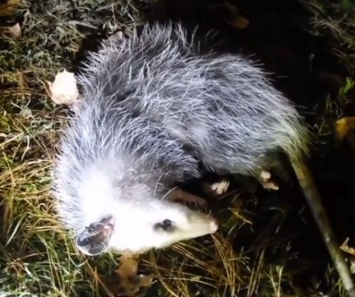 Suspicious homeowner plants camera to catch 'dead' opossum playing 'possum