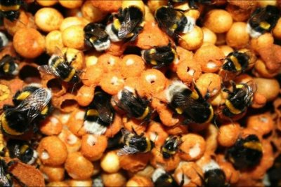 Pesticides affect bumblebee genes; scientists call for stricter regulations