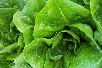 E. coli-tainted romaine lettuce threatens frail, sick most