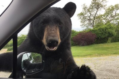 Bear opens car door with woman trapped inside