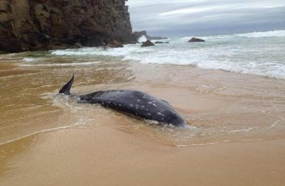 Rare beaked whale beached in Australia