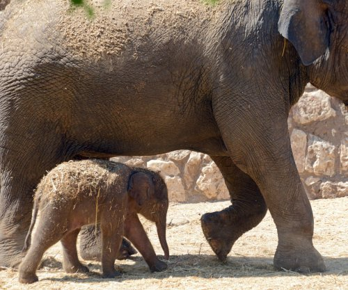 Study: Elephants rarely get cancer