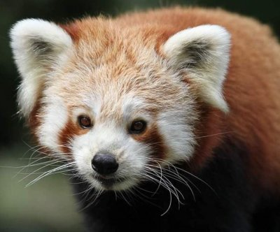 British zoo's escaped red panda caught on wildlife camera