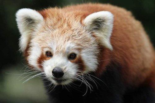 British zoo's escaped red panda caught on wildlife camera