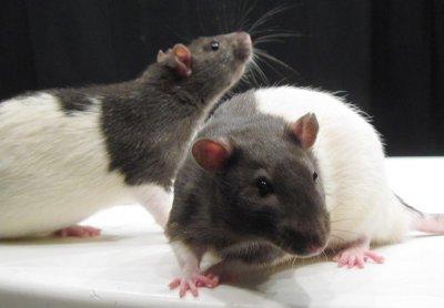 Brain inflammation may hinder memory, new study says