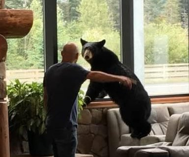 Bear wanders into hotel lobby, climbs on furniture