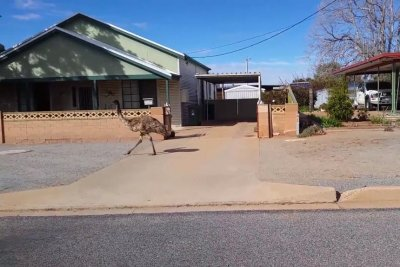 Emus invade Australian suburb in search for food