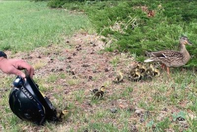 Watch:-Ducklings-rescued-from-Colorado-storm-drain
