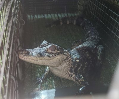 Alligator removed from suburban Chicago lake