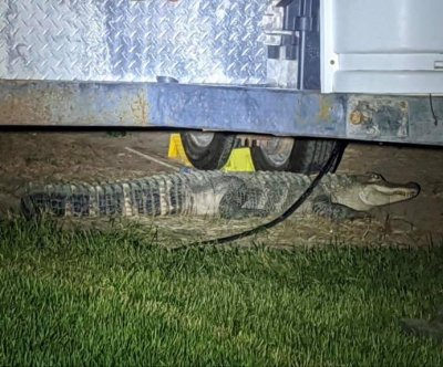 Police, wildlife officers wrangle loose alligator in Idaho