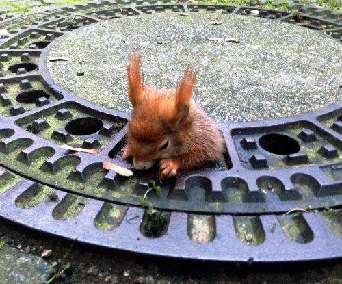 Red squirrel with large rear end rescued from manhole