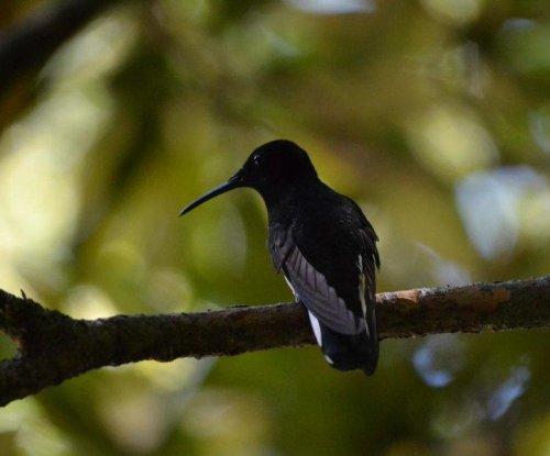 Hummingbirds make cricket sounds at frequencies outside avian hearing range