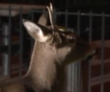 New York police capture one-antlered Harlem deer