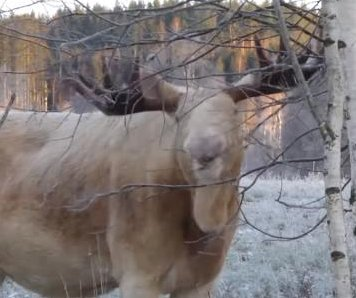 Sweden's rare white moose filmed munching on tree branches