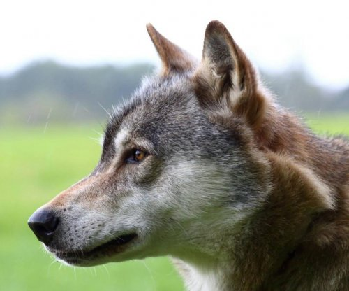 Wolf recaptured after escape from British sanctuary