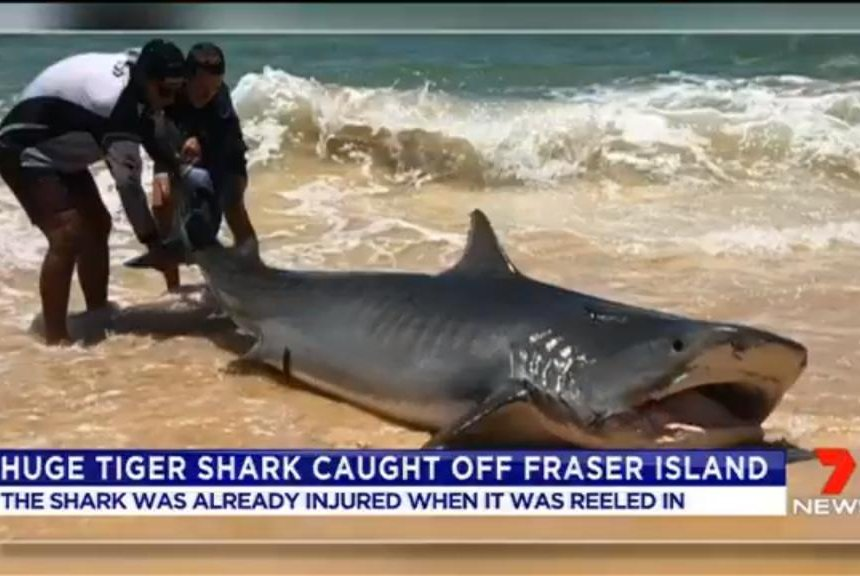 Watch: Massive tiger shark reeled in from shore at Australian beach ...