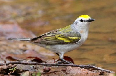 Ornithologists discover three-species hybrid warbler