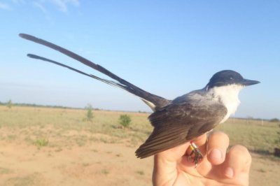 Sounds made by fluttering feathers help fork-tailed flycatchers communicate