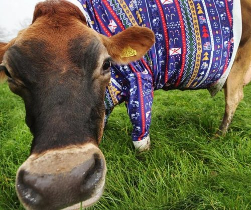New Jersey farmer dresses cows in giant-sized Christmas sweaters