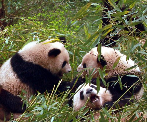 China's panda protections are helping other species too