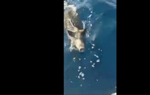 Fishermen find boar swimming four miles offshore