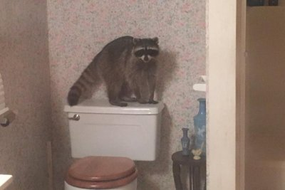 'Masked male' was bathroom-invading raccoon