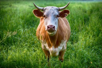 Police chase loose bull on Massachusetts highway