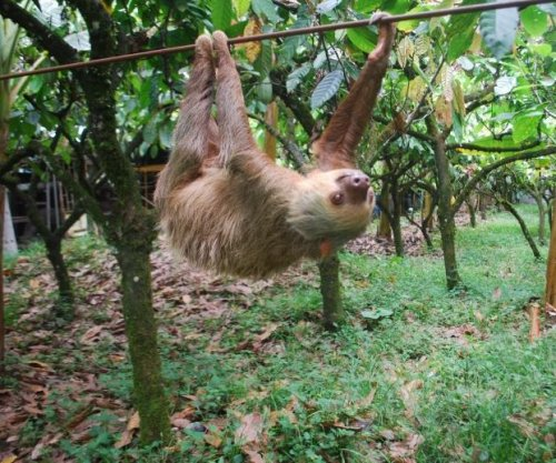 Sloth's arboreal niche explains its slow-paced lifestyle