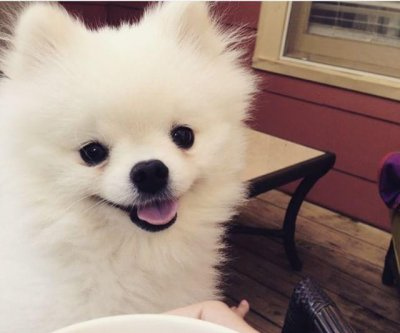 Little Pomeranian's big sneeze makes it a viral star