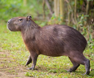 Two capybaras loose in Toronto