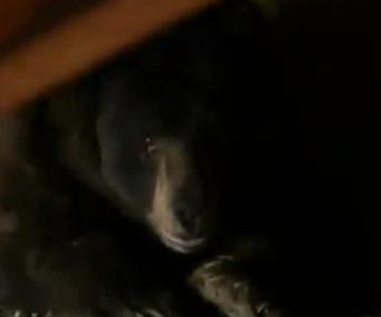 California man startled by bear living under his house