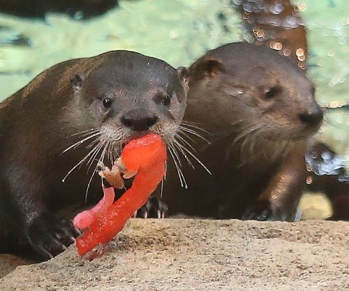 Otter triplets celebrate first birthday at St. Louis Aquarium