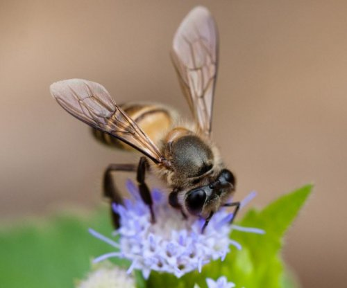 Honeybees use different dance dialects