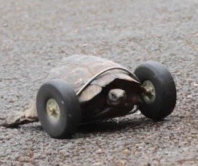 Injured 90-year-old tortoise gets a set of wheels in Wales