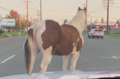 Escaped horse trots through streets of two Washington state towns