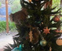 Australian woman finds wild koala in her Christmas tree