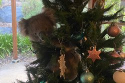 Australian woman finds wild koala in her Christmas tree